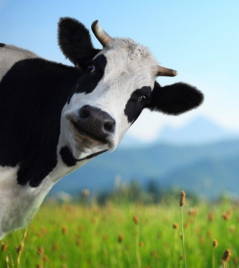 587268334-Funny-cow-on-a-green-meadow.jpg